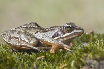 Moor frog (Rana arvalis), Emsland, Germany, Europe