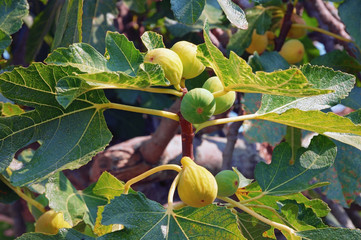 Branch of a fig tree (Ficus carica) with leaves and fruits