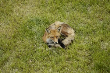 Red fox (Vulpes vulpes) lying on green grass in a back yard, Toronto, Ontario, Canada, North America