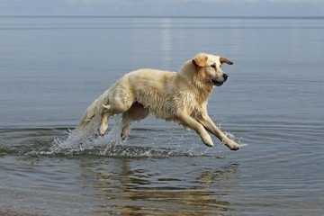 Golden Retriever (Canis lupus familiaris), two-year-old bitch running in the water