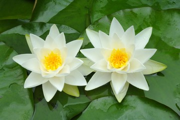 European White Waterlily or White Lotus (Nymphaea alba)