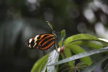 Heliconius butterfly (Eueides isabellae)