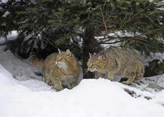 Wildcat (Felis silvestris), juveniles in winter, in front of den