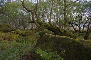 Moss-covered tree, Carsaig Bay, Isle of Mull, Scotland, United Kingdom, Europe