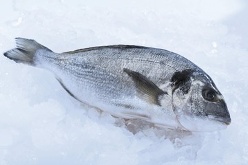 Gilt-head Bream or Dorade Royale on crushed ice
