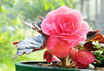 Flower of a red begonia close up after a rain