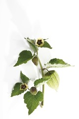 Branch of Cape Gooseberry (Physalis peruviana), blossoms and hull of the unripe fruit