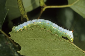 Coxcomb Prominent Caterpillar (Ptilodon capucina), eating