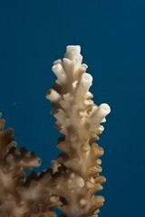 Stone Coral (Acropora sp.), close-up