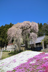 松雲寺観音しだれ桜(福島県・白河市)