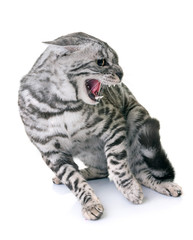 bengal cat angry