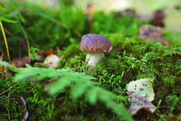Boletus mushroom growing up in a green moss in a forest in autumn
