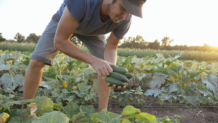 Young male farmer picking cucumber at organic eco farm