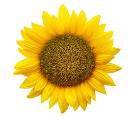 Sunflower isolated on white background.