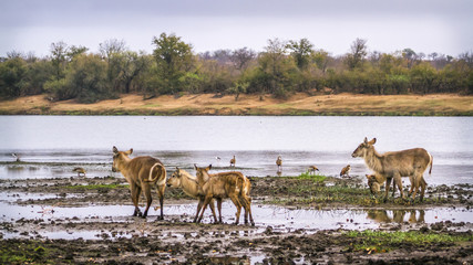 Common Waterbuck in Kruger National park, South Africa