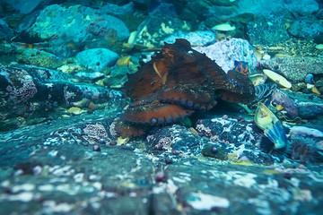 giant octopus underwater photo