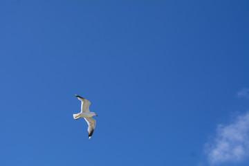 Lachmöwe am Himmel