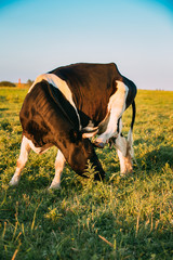Cow Scratches Its Head With A Hoof In Spring Pasture. Cow Grazing
