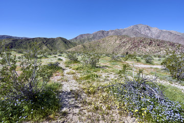 superbloom in the California desert after heavy winter rains