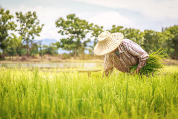 Asian farmer transplant rice seedlings in rice field. Farmer planting of the rice season, be prepared for planting.