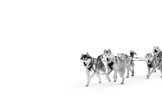 Sled dogs in harness. Northern huskies - hardy and strong. Team Husky sled in the winter.