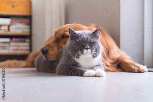British shorthair cats and Golden Retriever