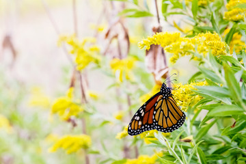 Monarch butterfly resting on a goldenrod plume
