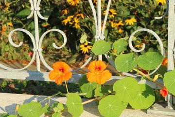 Garden Fence with Flowers, Gartenzaun mit Kapuzinerkresse
