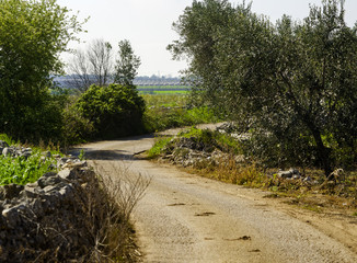 rural countryside puglia countryside with dry stone walls and olive trees