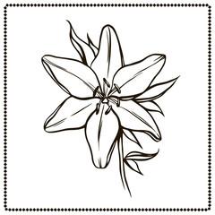Beautiful lily flower closeup