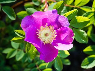 Blooming Nootka rose in Washington state, USA