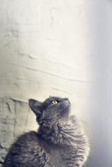 Kitten of gray color looks up on a light background. The place for the text. Copy space