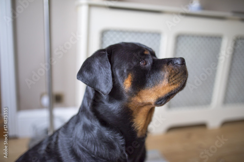 Adorable alert Rottweiller side profile waiting for a treat\