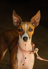 Italian Greyhound dog wearing pink collar and leash