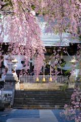 南湖神社の楽翁桜(福島県・白河市)