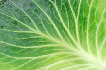 fresh cabbage leaf isolated on white background