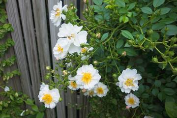 垣根のバラ