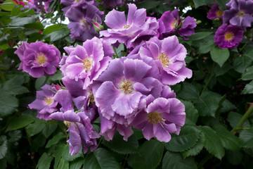 平咲きの紫のバラ