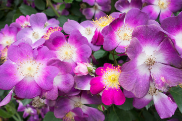 紫の一重咲きのバラ