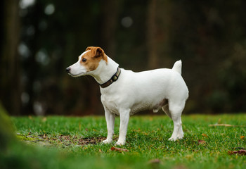 Jack Russell Terrier dog standing on grass