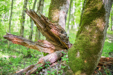 The remains of decomposed tree trunk near living mossy tree