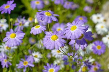 Flowers blue brachycome (lat. Brachycome iberidifolia)