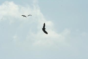Seeadler und Bussarde