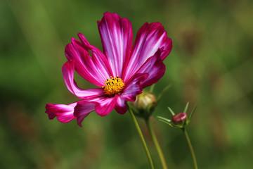 Cosmos Bipinnatus in white-pink with dark pink
