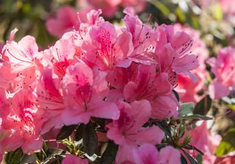 Azaleas in sprong bloom Kirribilli sydney 2017