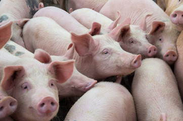 Livestock breeding. The farm pigs.