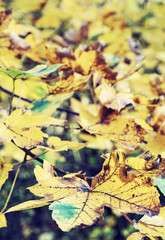 Close up photo of maple tree with yellow leaves, old filter