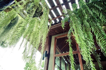 Boston Fern is a very popular house plant,often grown in hanging baskets or similar conditions.