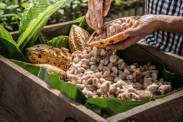 Cocoa Beans and Cocoa Fruits.