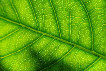 Surface of green translucent tree leaf with soft sunshine light behind
